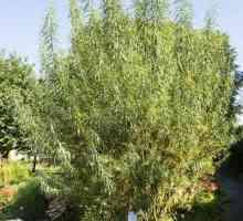 Mandjie wilg boom sorg: groeiende wilg plante vir mandjies