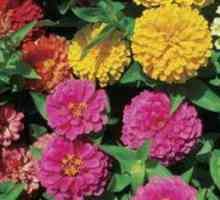 Bug remedy vir zinnias