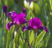 Iris sorg: inligting oor die iris plant sorg