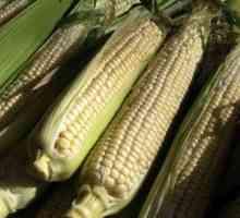 Wenke vir die oes van koring: hoe en wanneer om koring te pluk
