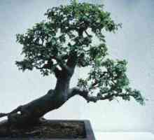 Hoe om `n bonsai plant te water