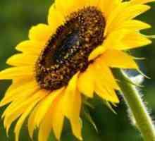 Faktore wat sonneblom bestuiwing beïnvloed
